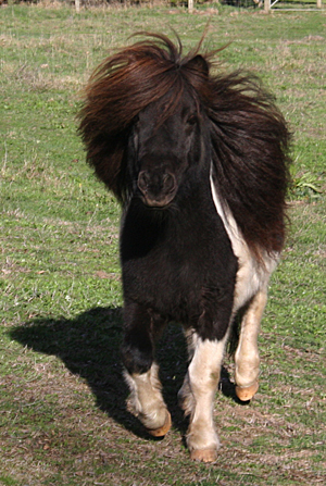 Major, our Piebald Shetland Stallion