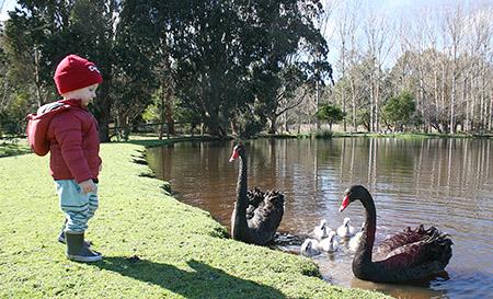 Wild Black Swan Family